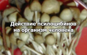 действие грибов псилоцибы